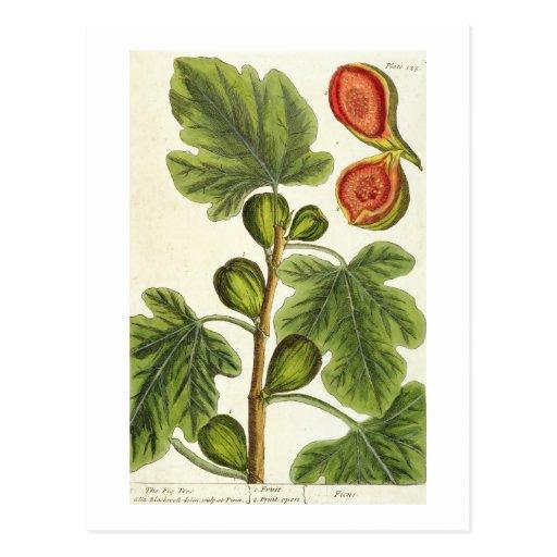 """La higuera, platea 125 """"de un herbario curioso"""", p tarjetas postales"""