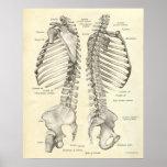 La impresión de la anatomía del vintage deshuesa l posters