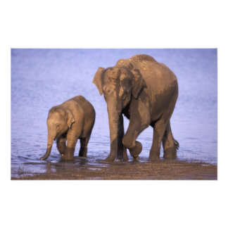 La India, parque nacional de Nagarhole. Elefante a Cojinete