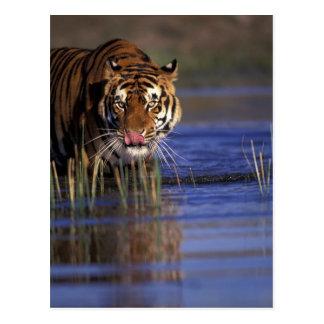 La India. Tigre de Bengala (Pathera el Tigris), Tarjetas Postales