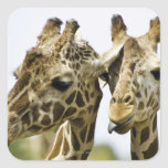 La jirafa conocida se deriva de la palabra árabe pegatina cuadrada