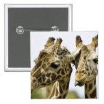 La jirafa conocida se deriva de la palabra árabe pin cuadrado