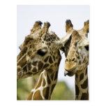 La jirafa conocida se deriva de la palabra árabe postales