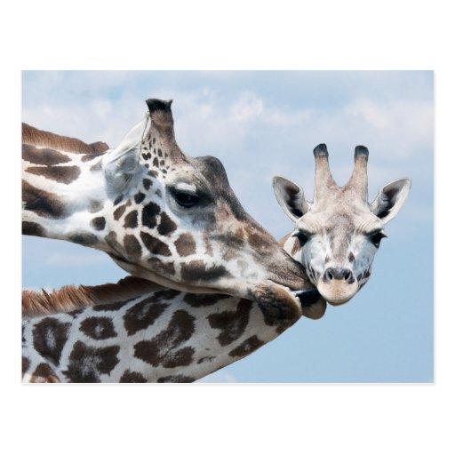 La jirafa de la madre besa su becerro postal