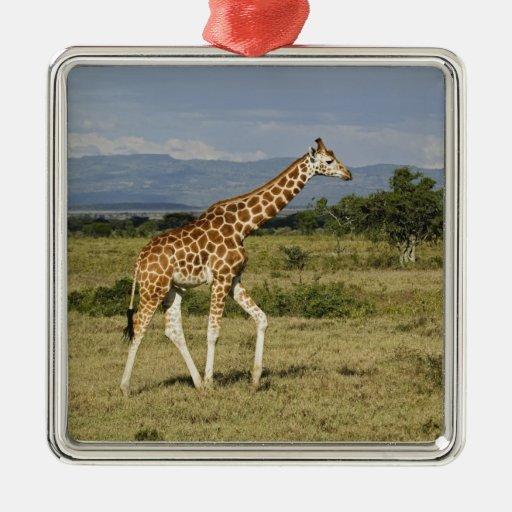 La jirafa de Rothschild, camelopardalis del Adorno Navideño Cuadrado De Metal
