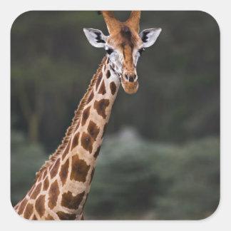 La jirafa de Rothschild, parque nacional de Nakuru Pegatina Cuadrada
