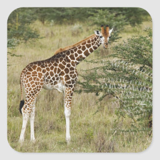 La jirafa que come, lago Nakuru de Rothschild Pegatina Cuadrada