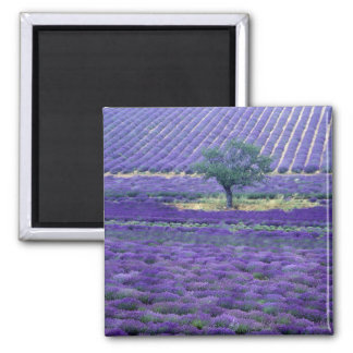 La lavanda coloca, Vence, Provence, Francia Imán Cuadrado