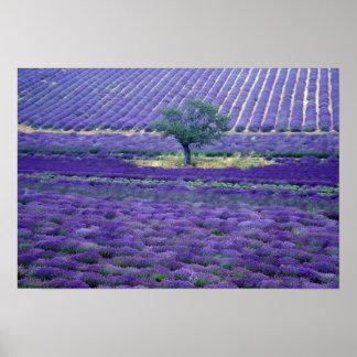 La lavanda coloca, Vence, Provence, Francia Póster