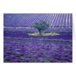La lavanda coloca, Vence, Provence, Francia Tarjeta