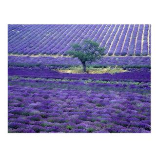 La lavanda coloca, Vence, Provence, Francia Tarjetas Postales