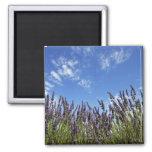 La lavanda florece en campo en el cielo azul en imán cuadrado
