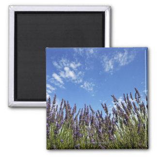 La lavanda florece en campo en el cielo azul en ve iman para frigorífico