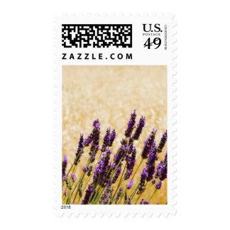 La lavanda florece en un campo, provincia de sellos