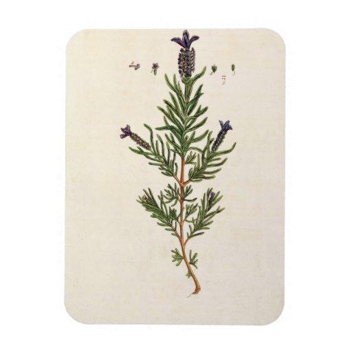 La lavanda francesa, platea 241 'de un Herbal curi Imanes Flexibles