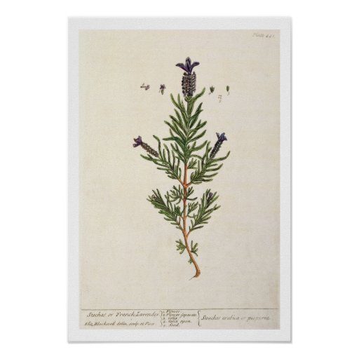 La lavanda francesa, platea 241 'de un Herbal curi Poster