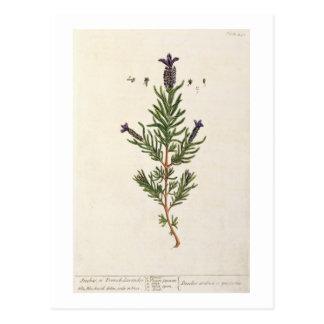 La lavanda francesa, platea 241 'de un Herbal Tarjeta Postal