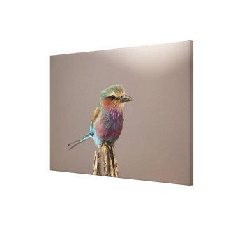 La lila breasted el rodillo caudata del Coracias Lona Envuelta Para Galerías