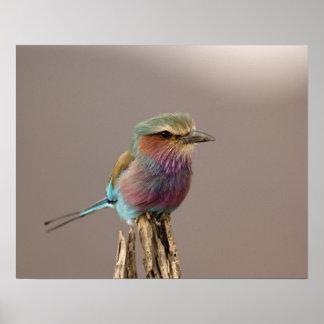 La lila breasted el rodillo caudata del Coracias Posters