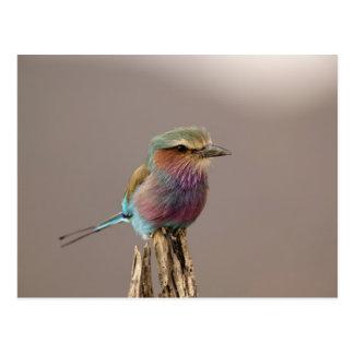 La lila breasted el rodillo, caudata del Coracias, Tarjeta Postal