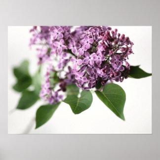 La lila florece belleza de la fragancia de la prim póster