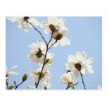 La magnolia florece el árbol de las magnolias del  tarjetas postales