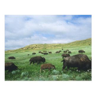 La manada del bisonte pasta la hierba de pradera e tarjetas postales