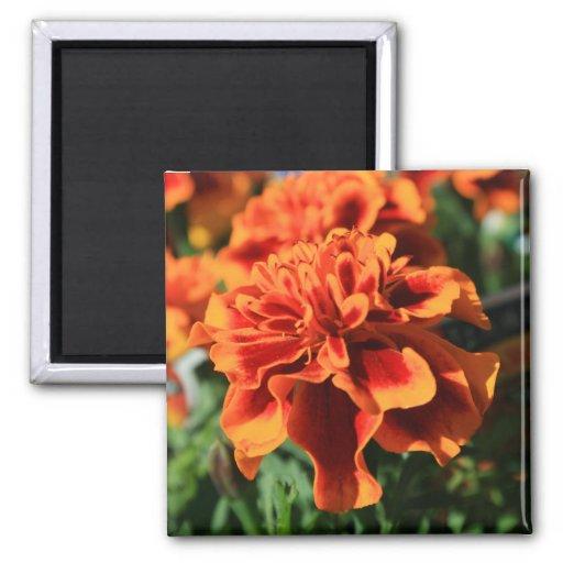 La maravilla anaranjada florece el imán