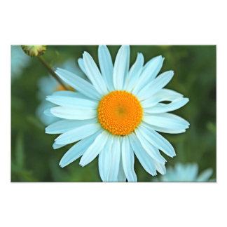 la margarita blanca bonita florece el cuadro cojinete