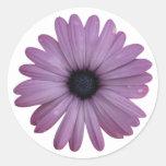 La margarita púrpura tiene gusto de los ecklonis etiqueta redonda