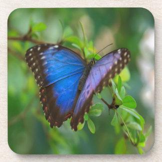 La mariposa azul de Morpho disfruta de alegría dul Posavaso