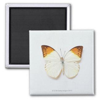 La mariposa con envergadura, encontró en regiones  imán cuadrado
