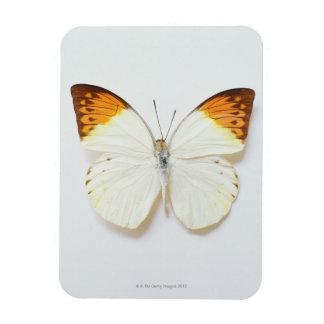 La mariposa con envergadura, encontró en regiones  imán de vinilo