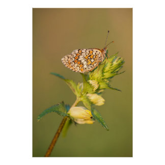 La mariposa del Fritillary de la centaurea Póster