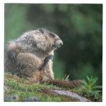 la marmota canosa, caligata del Marmota, rasguña Azulejo Cuadrado Grande