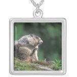 la marmota canosa, caligata del Marmota, rasguña Colgante Cuadrado