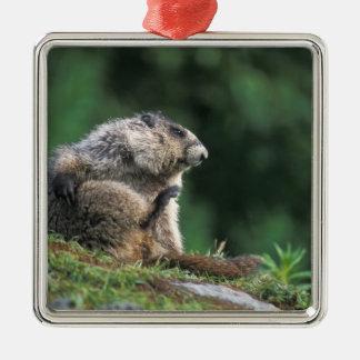 la marmota canosa, caligata del Marmota, rasguña Ornatos
