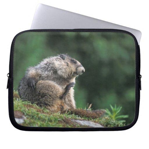 la marmota canosa, caligata del Marmota, rasguña Fundas Computadoras