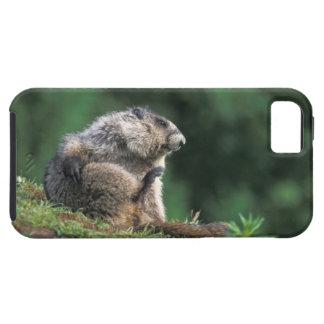 la marmota canosa, caligata del Marmota, rasguña iPhone 5 Fundas