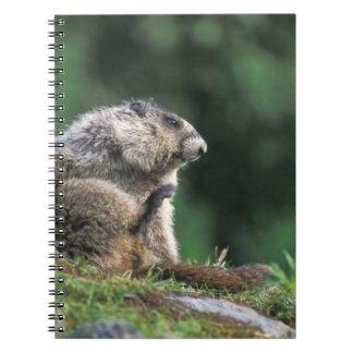 la marmota canosa, caligata del Marmota, rasguña Libreta