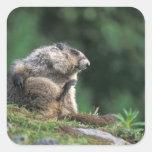 la marmota canosa, caligata del Marmota, rasguña Pegatina Cuadrada