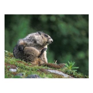 la marmota canosa, caligata del Marmota, rasguña Tarjeta Postal