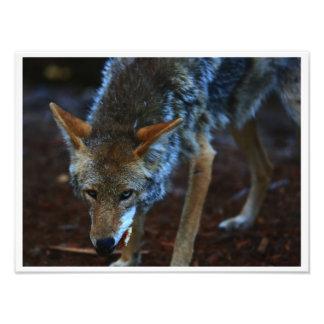 La mirada del coyote fotografía