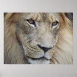 La mirada fija de un león poster