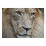 La mirada fija de un león tarjeta