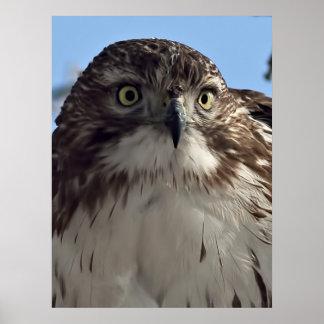 La mirada fija del halcón impresiones