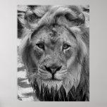La mirada fija del león posters
