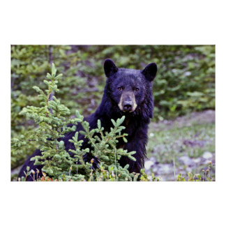La mirada fija del oso negro póster