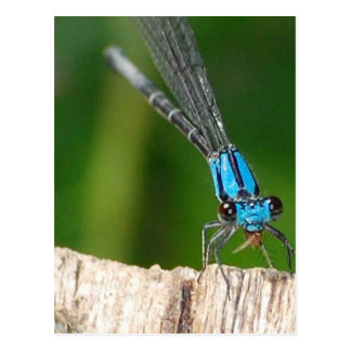 la mosca azul del dragón postal
