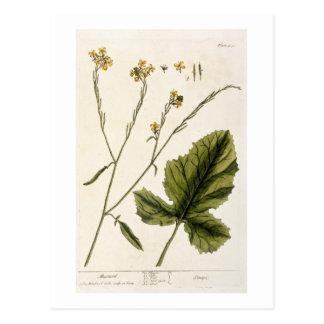 """La mostaza, platea 446 """"de un herbario curioso"""", postales"""